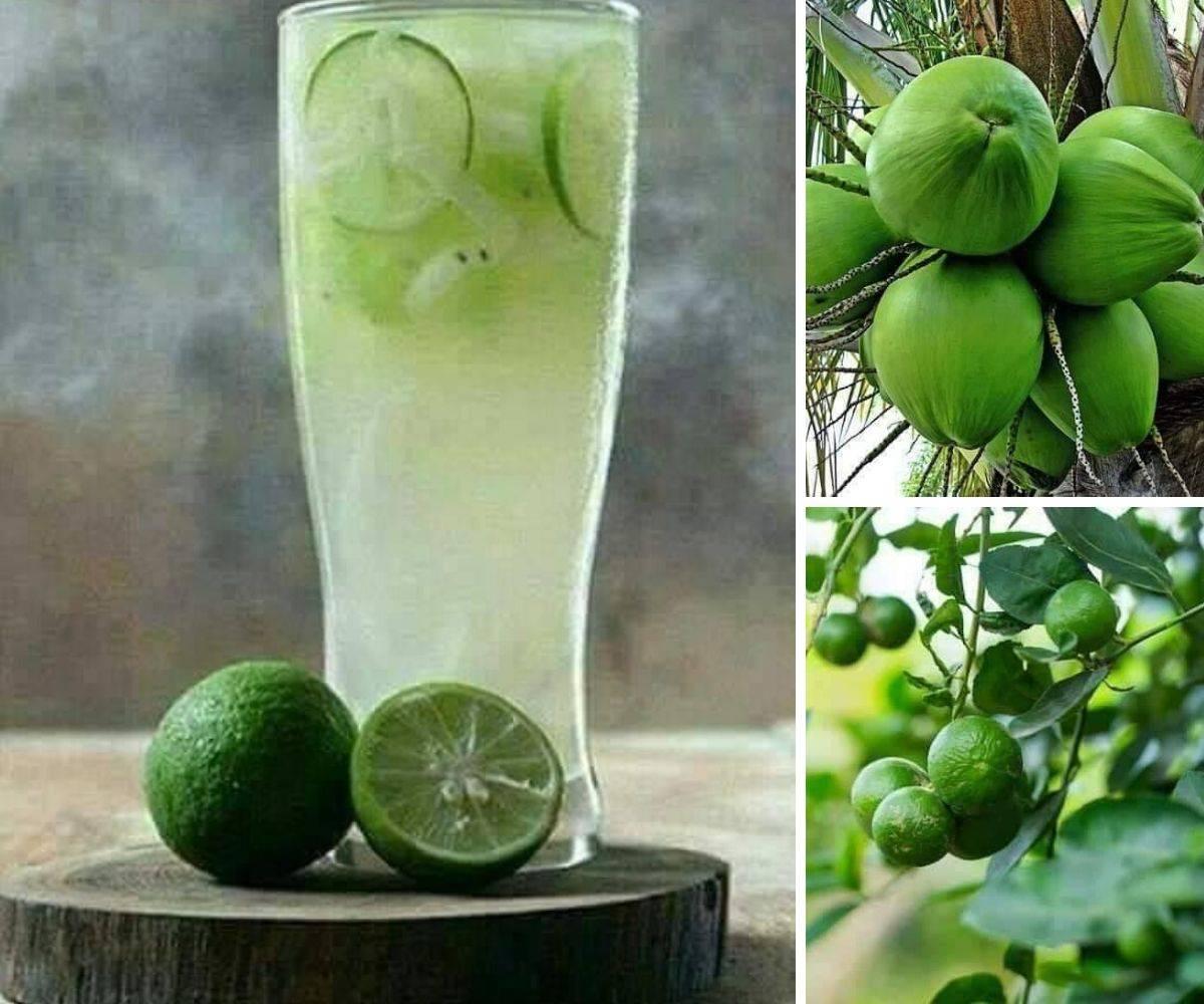 Image result for kelapa limau nipis